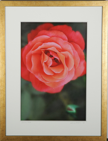 Salmon Rose by artist Johnny Stevens
