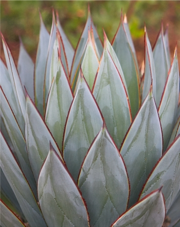 Agave 1 by artist Greg Abell