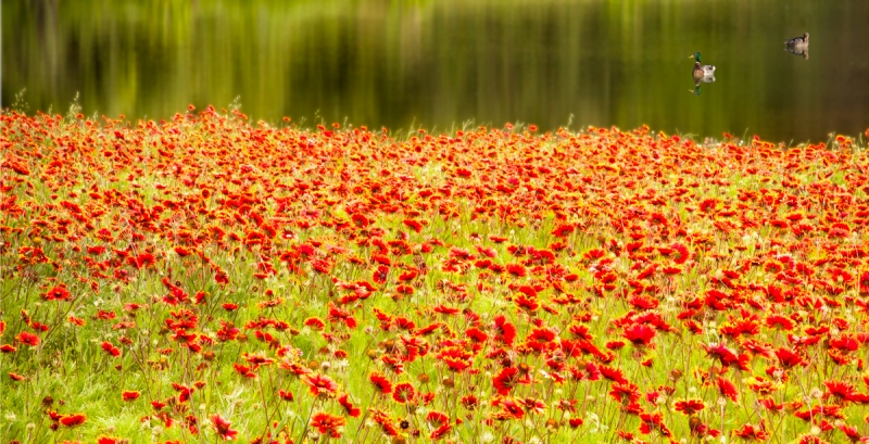 Field of Red by artist Derris Lanier